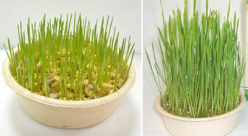 小麦幼苗手绘结构图